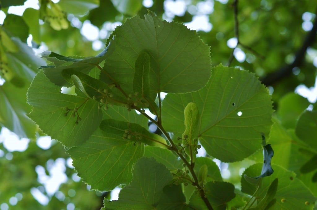 OM under leaves