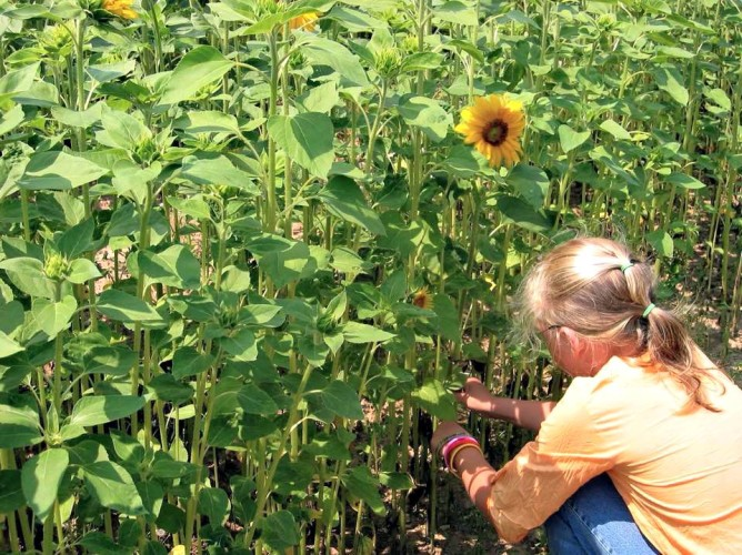 Gardening Sunflowers