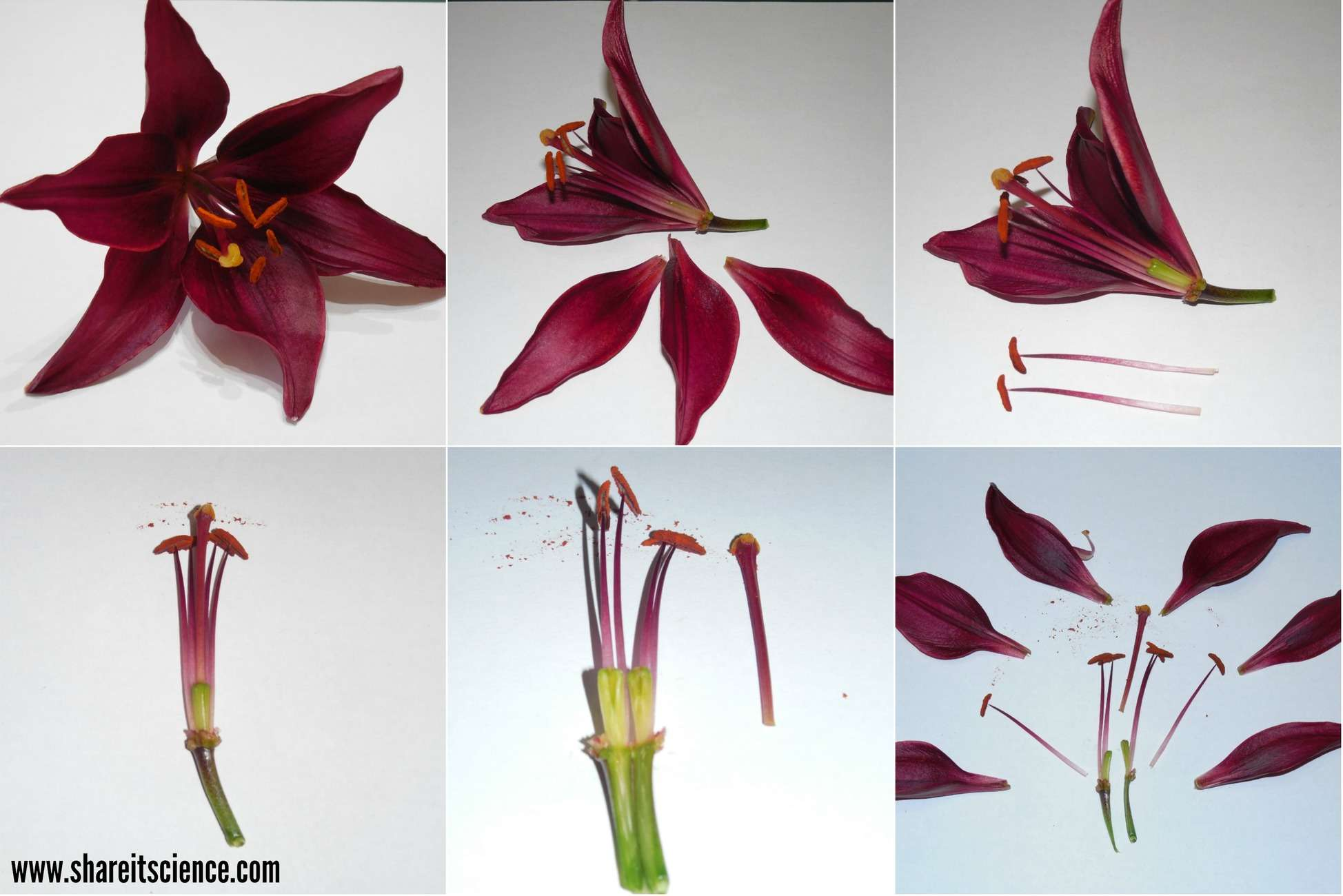 shareitscience_HS-flower-dissection (1)
