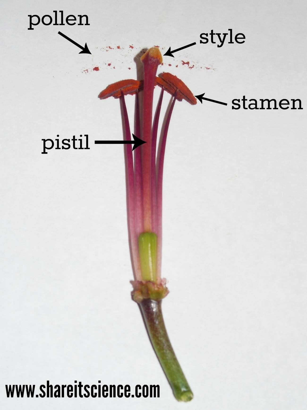shareitscience_elementary-flower-parts (1)