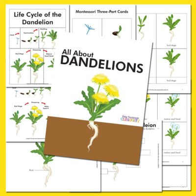 All About Dandelions- A Life Cycle Unit Study