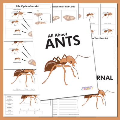 Life Cycle of an Ant Unit Study
